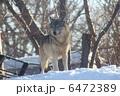 シンリンオオカミ 森林狼 おおかみの写真 6472389