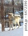 シンリンオオカミ 森林狼 おおかみの写真 6472390
