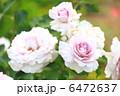 日本の薔薇 「ニューウェーブ」 6472637