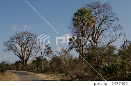 バオバブの木 6477496