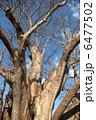 バオバブの木 大木 幹の写真 6477502