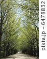 新緑のイチョウ並木 6478832