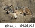 ハイイロオオカミ タイリクオオカミ オオカミの写真 6486108