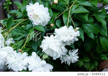 立てば芍薬・・・ 花が重くて垂れてます。 6486511