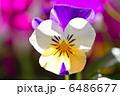 ビオラ 6486677