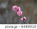 カンヒザクラ 寒緋桜 ヒカンザクラの写真 6489910