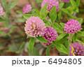 ムラサキツメクサ 紫詰草 赤クローバーの写真 6494805