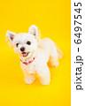 小型犬 ミックス犬 ペットの写真 6497545