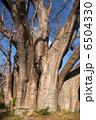 巨樹 大樹 バオバブの木の写真 6504330