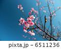 寒緋桜 ヒカンザクラ 緋寒桜の写真 6511236