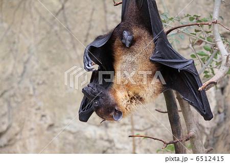 インドオオコウモリ 6512415