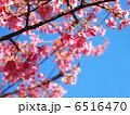 カワヅザクラ 河津桜 桜の写真 6516470