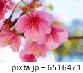 カワヅザクラ 河津桜 桜の写真 6516471