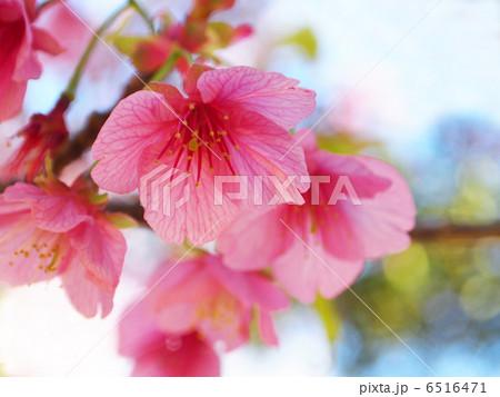 河津桜 6516471