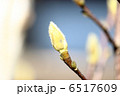 モクレン ハクモクレン 木蓮の写真 6517609