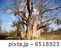 巨樹 大樹 バオバブの木の写真 6518923