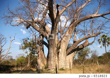 バオバブの大木 6518923
