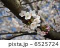 太い枝から直接咲く桜の花 6525724