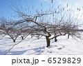 冬のリンゴ畑 6529829