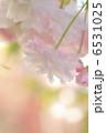 八重桜 ヤエザクラ 花の写真 6531025
