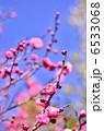 紅梅 寒紅梅 カンコウバイの写真 6533068