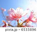 カンヒザクラ 寒緋桜 ヒカンザクラの写真 6533896