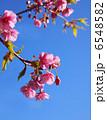 カワヅザクラ 桜 河津桜の写真 6548582