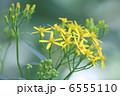 黄苑 キオン 花の写真 6555110