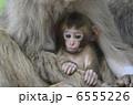 子ザル 子猿 親子猿の写真 6555226
