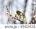 梅の花 メジロ めじろの写真 6562418