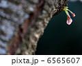 新芽 さくら つぼみの写真 6565607