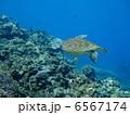 ウミガメ 6567174