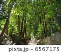 フクギ並木 6567175