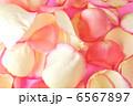 バラの花びら 6567897