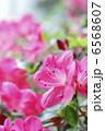 サツキ 皐月 さつきの写真 6568607