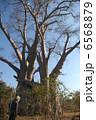 巨樹 大樹 バオバブの木の写真 6568879