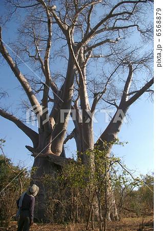 バオバブの大木と人間の大人との比較 6568879