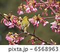 河津桜 メジロ めじろの写真 6568963