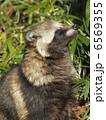 ホンドタヌキ 本土狸 タヌキの写真 6569355