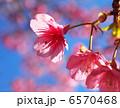 カワヅザクラ 桜 河津桜の写真 6570468