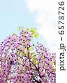 フジ ふじ 藤の花の写真 6578726