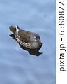 オシドリ♀ 6580822