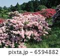 つつじ 躑躅 花の写真 6594882