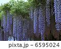 藤の花 フジの花 ふじの写真 6595024