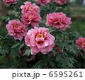 牡丹 ボタン 花の写真 6595261