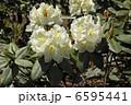 シャクナゲ 石楠花 花の写真 6595441