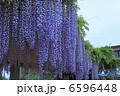 藤の花 フジの花 お花の写真 6596448