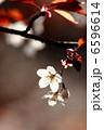 山桜 6596614