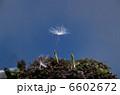 新芽 発芽 蒲公英の写真 6602672