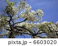 お花 ふじ フラワーの写真 6603020